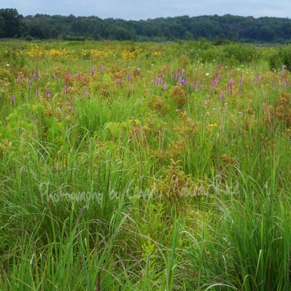 Liatris, Blazing Stars, Yellow Coneflowers and a variety of sedges and prairie grasses